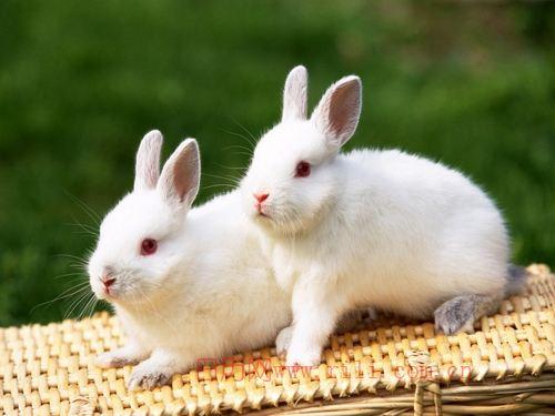 属兔的最大弱点