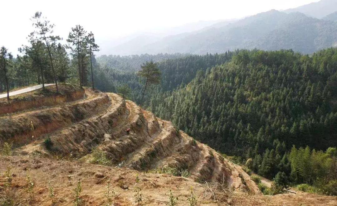 西双版纳现大规模毁林种茶