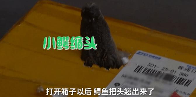 孩子网购小鱼竟收到泰国鳄