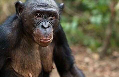 黑猩猩自备吸管喝游客给的饮料
