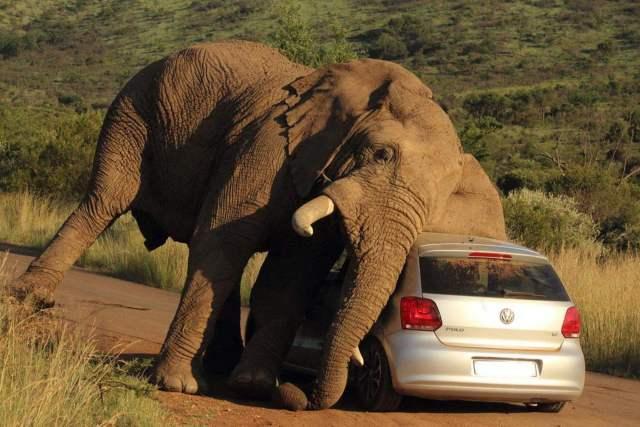 南非大象突然冲向卡车吓懵司机