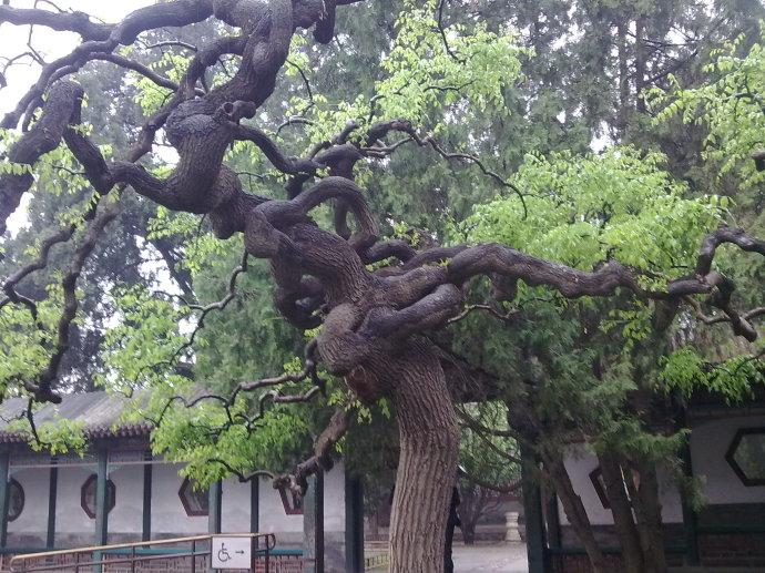 槐树的风水禁忌