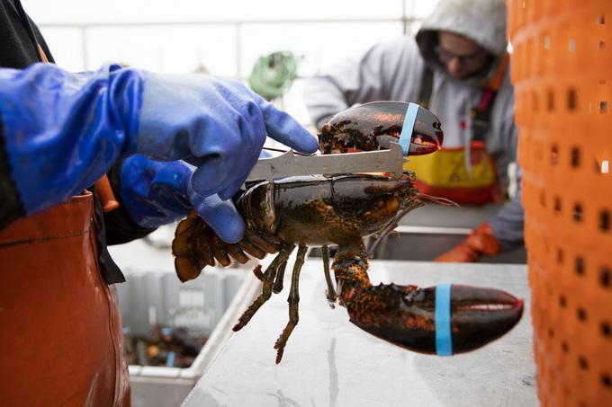 英国拟禁止煮食龙虾螃蟹等活物