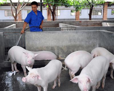 300头猪集体中暑消防浇水续命