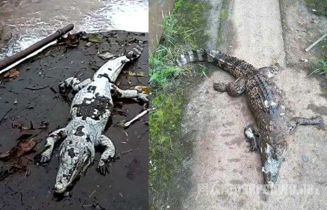 两条鳄鱼幼崽被非法放生水库